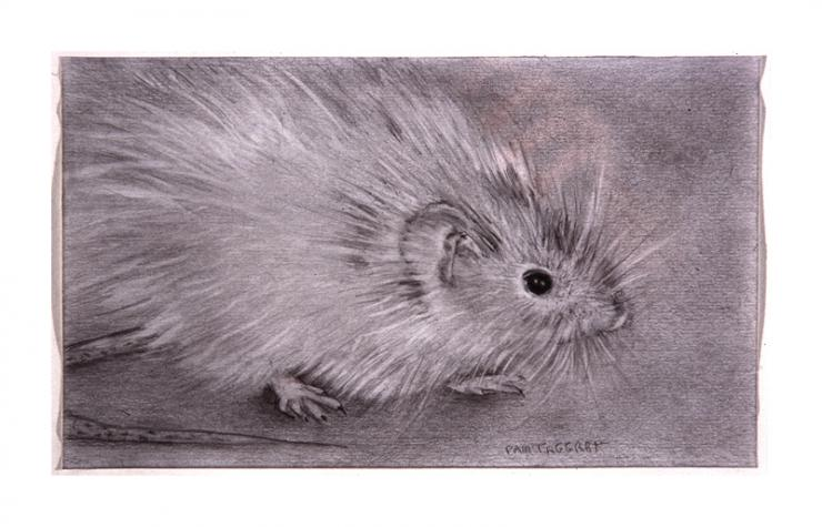 house mouse drawing by Pam Taggart