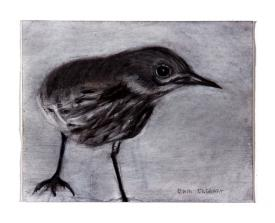 wren drawing by Pam Taggart