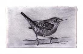 South Carolina wren drawing by Pam Taggart